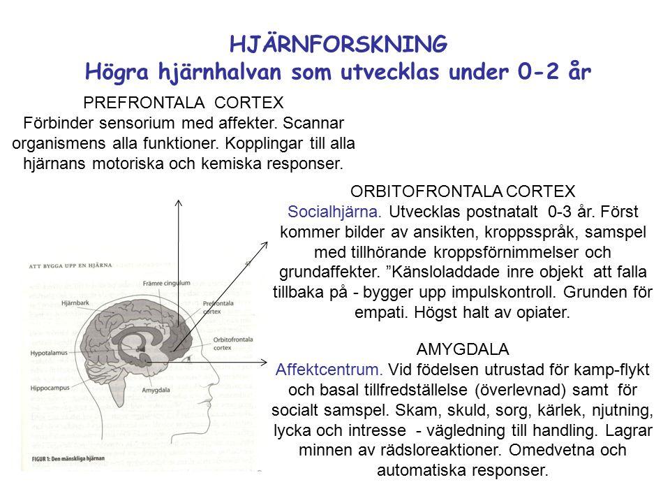 HJÄRNFORSKNING Högra hjärnhalvan som utvecklas under 0-2 år ORBITOFRONTALA CORTEX Socialhjärna.