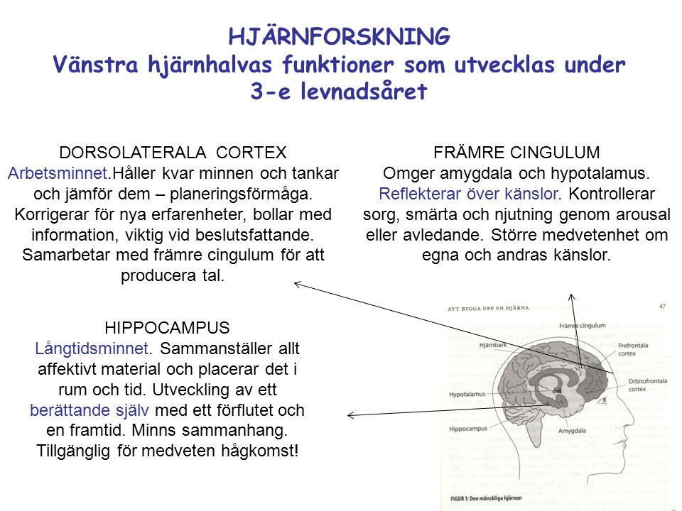 HJÄRNFORSKNING Vänstra hjärnhalvas funktioner som utvecklas under 3-e levnadsåret FRÄMRE CINGULUM Omger amygdala och hypotalamus.