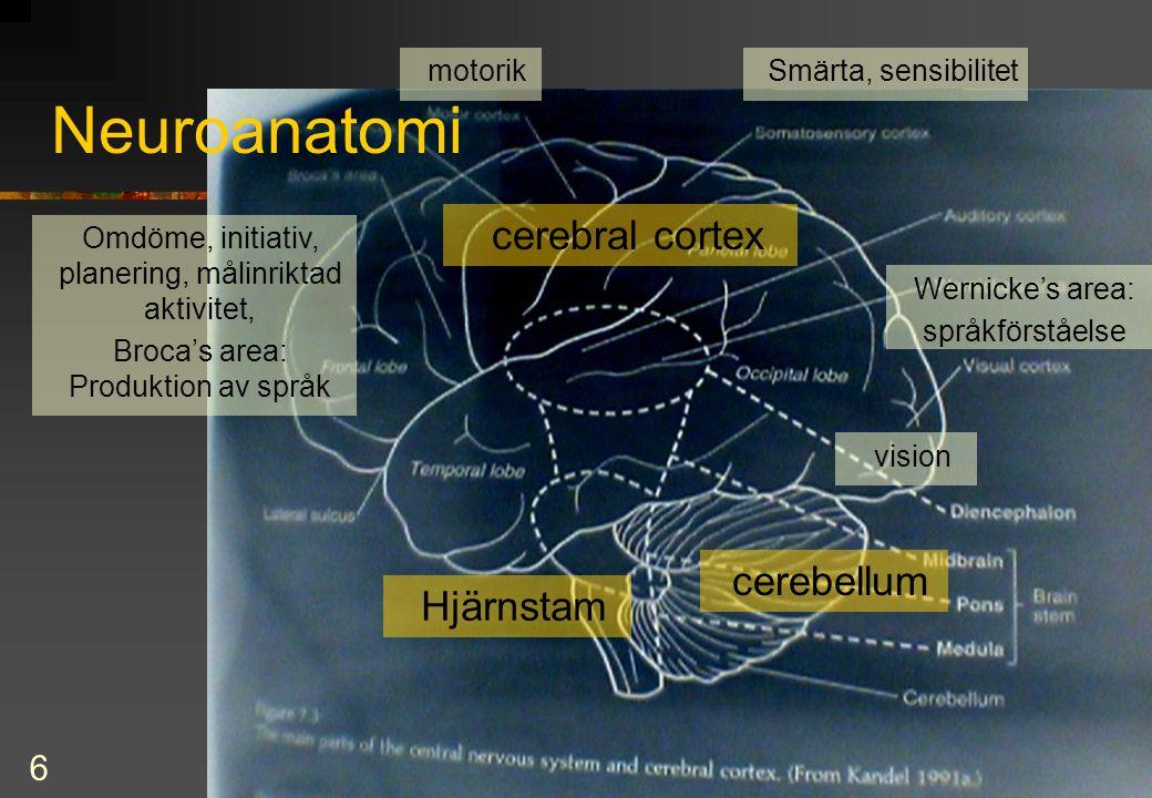6 Neuroanatomi cerebellum cerebral cortex vision Wernicke's area: språkförståelse Omdöme, initiativ, planering, målinriktad aktivitet, Broca's area: Produktion av språk Smärta, sensibilitetmotorik Hjärnstam