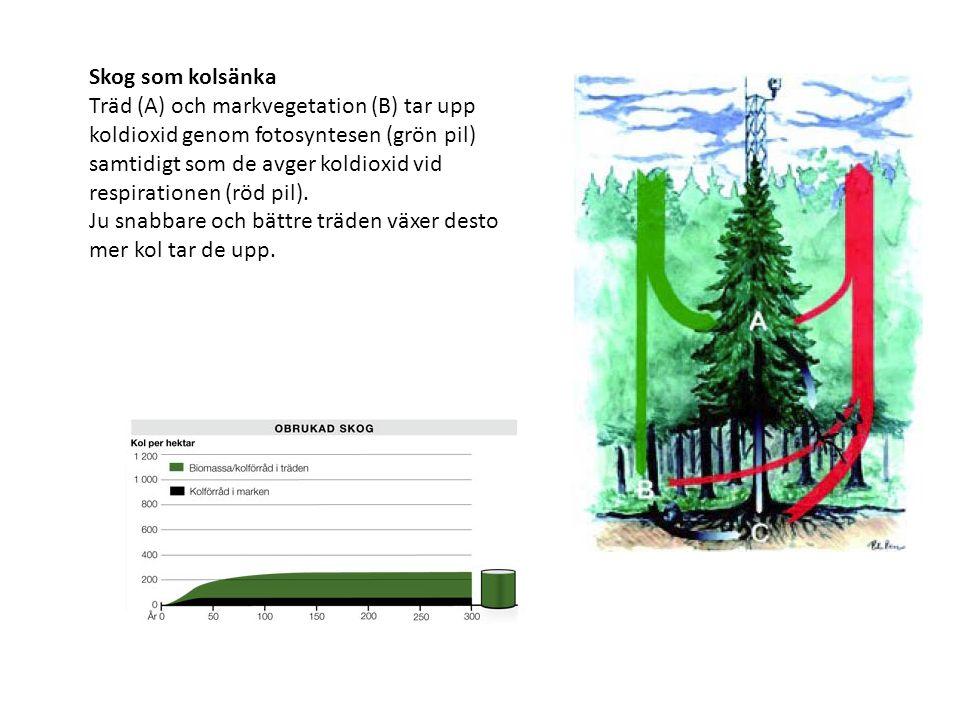 Skog som kolsänka Träd (A) och markvegetation (B) tar upp koldioxid genom fotosyntesen (grön pil) samtidigt som de avger koldioxid vid respirationen (röd pil).
