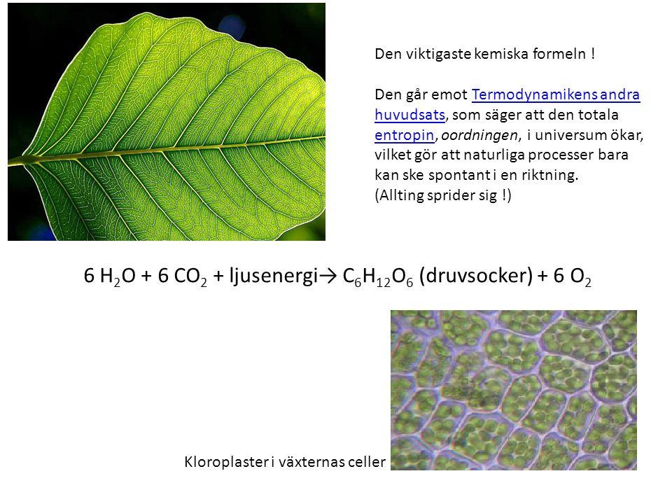 6 H 2 O + 6 CO 2 + ljusenergi→ C 6 H 12 O 6 (druvsocker) + 6 O 2 Den viktigaste kemiska formeln .