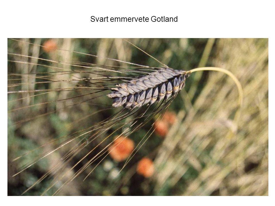 Svart emmervete Gotland