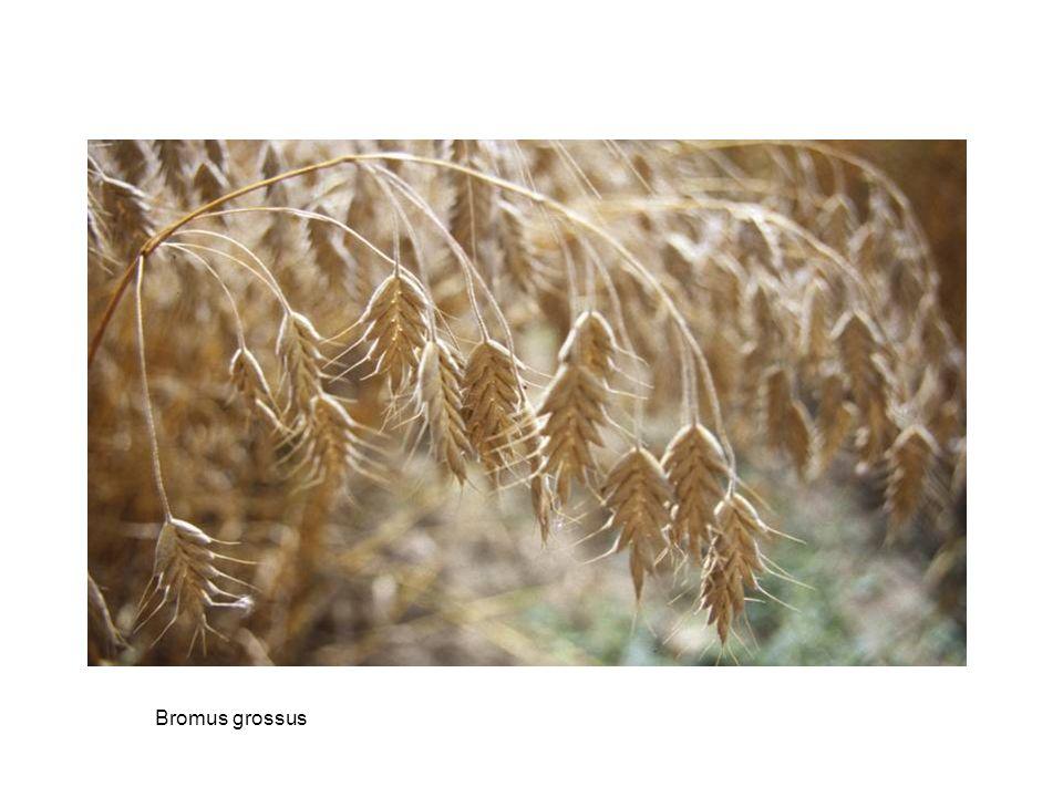 Bromus grossus