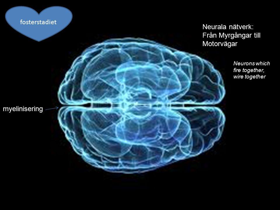 10 Hjärnan har utvecklingsfönster Synapsbortfall Inte bara biologi Inte bara miljö Gener.