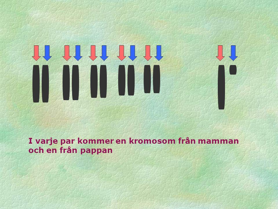 I varje par kommer en kromosom från mamman och en från pappan