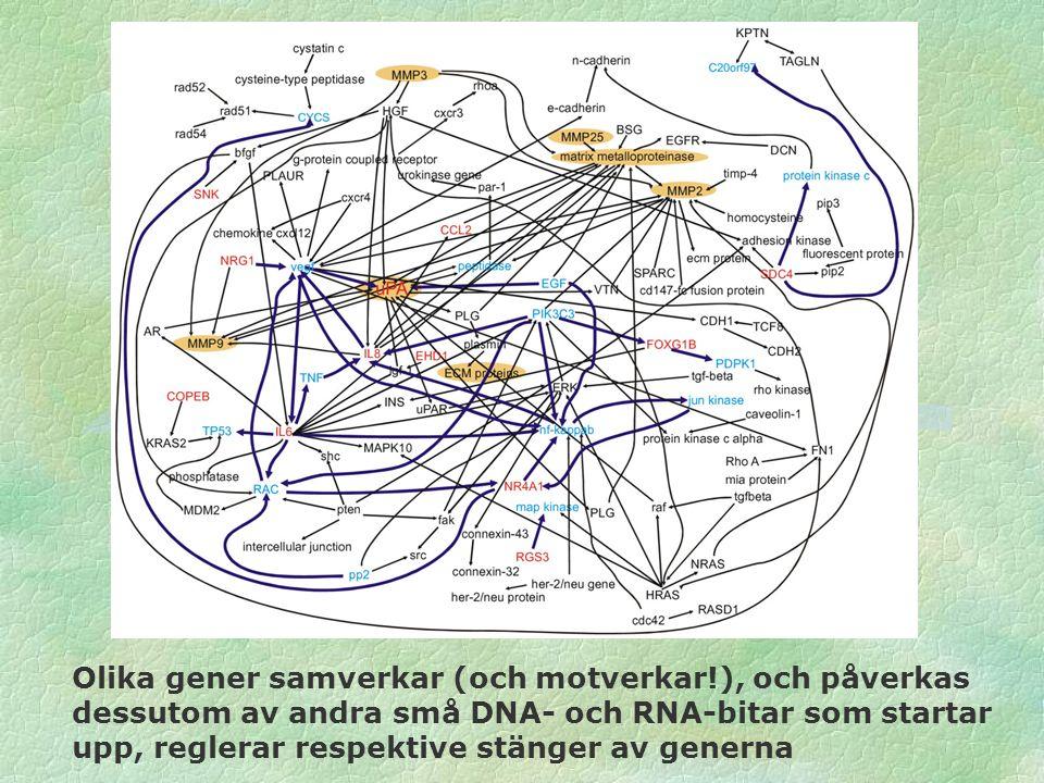 Olika gener samverkar (och motverkar!), och påverkas dessutom av andra små DNA- och RNA-bitar som startar upp, reglerar respektive stänger av generna