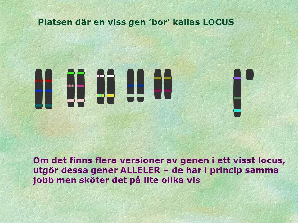 Platsen där en viss gen 'bor' kallas LOCUS Om det finns flera versioner av genen i ett visst locus, utgör dessa gener ALLELER – de har i princip samma jobb men sköter det på lite olika vis