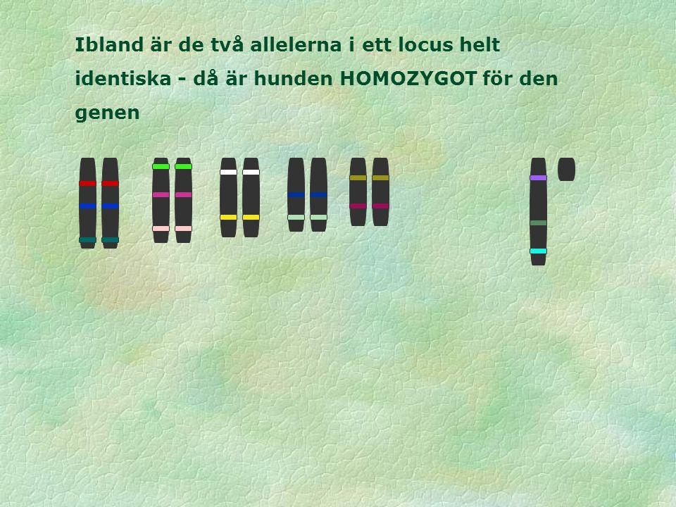 Ibland är de två allelerna i ett locus helt identiska - då är hunden HOMOZYGOT för den genen