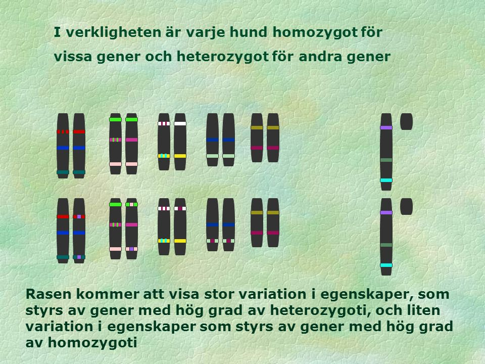 I verkligheten är varje hund homozygot för vissa gener och heterozygot för andra gener Rasen kommer att visa stor variation i egenskaper, som styrs av gener med hög grad av heterozygoti, och liten variation i egenskaper som styrs av gener med hög grad av homozygoti