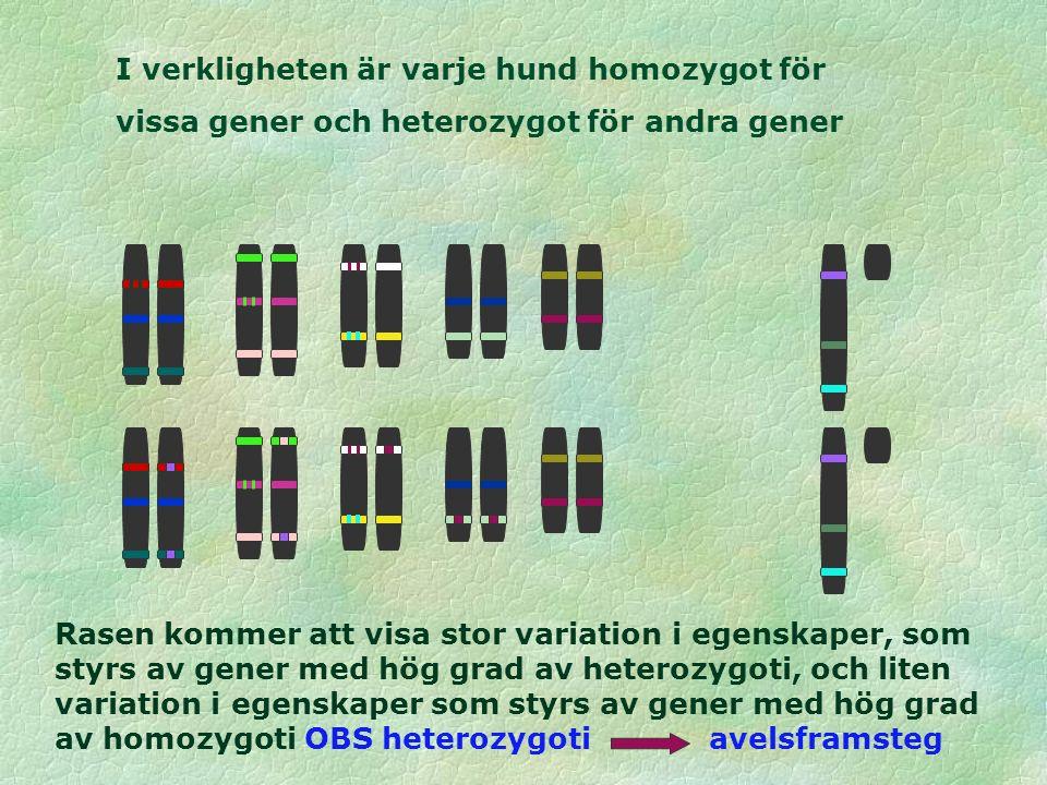 I verkligheten är varje hund homozygot för vissa gener och heterozygot för andra gener Rasen kommer att visa stor variation i egenskaper, som styrs av gener med hög grad av heterozygoti, och liten variation i egenskaper som styrs av gener med hög grad av homozygoti OBS heterozygoti avelsframsteg