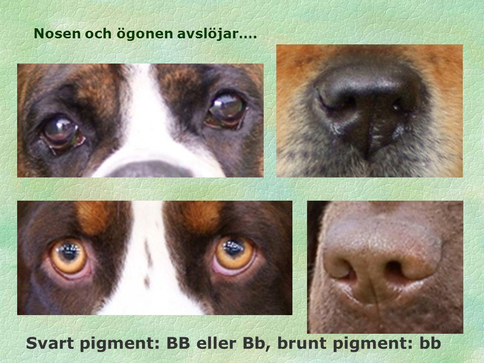Nosen och ögonen avslöjar…. Svart pigment: BB eller Bb, brunt pigment: bb