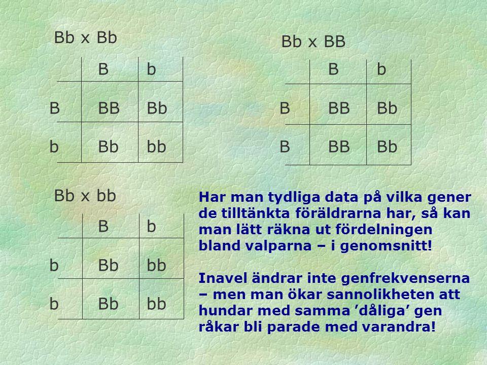 B b BBBBb bBbbb B b BBBBb B b bBbbb Bb x Bb Bb x BB Bb x bb Har man tydliga data på vilka gener de tilltänkta föräldrarna har, så kan man lätt räkna ut fördelningen bland valparna – i genomsnitt.