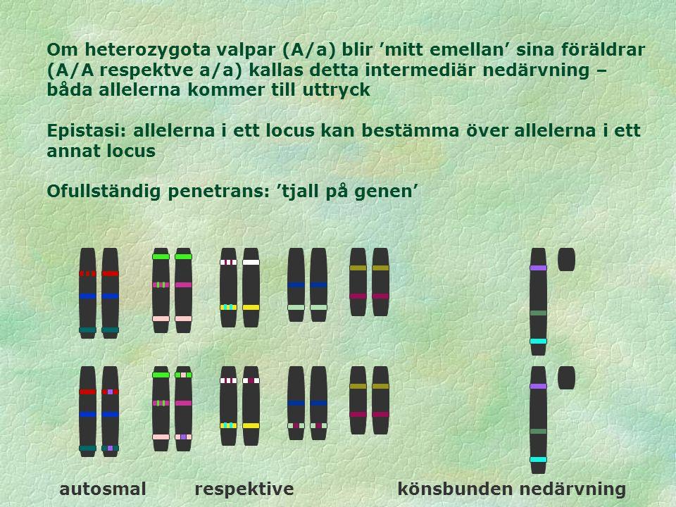 Om heterozygota valpar (A/a) blir 'mitt emellan' sina föräldrar (A/A respektve a/a) kallas detta intermediär nedärvning – båda allelerna kommer till uttryck Epistasi: allelerna i ett locus kan bestämma över allelerna i ett annat locus Ofullständig penetrans: 'tjall på genen' autosmal respektive könsbunden nedärvning
