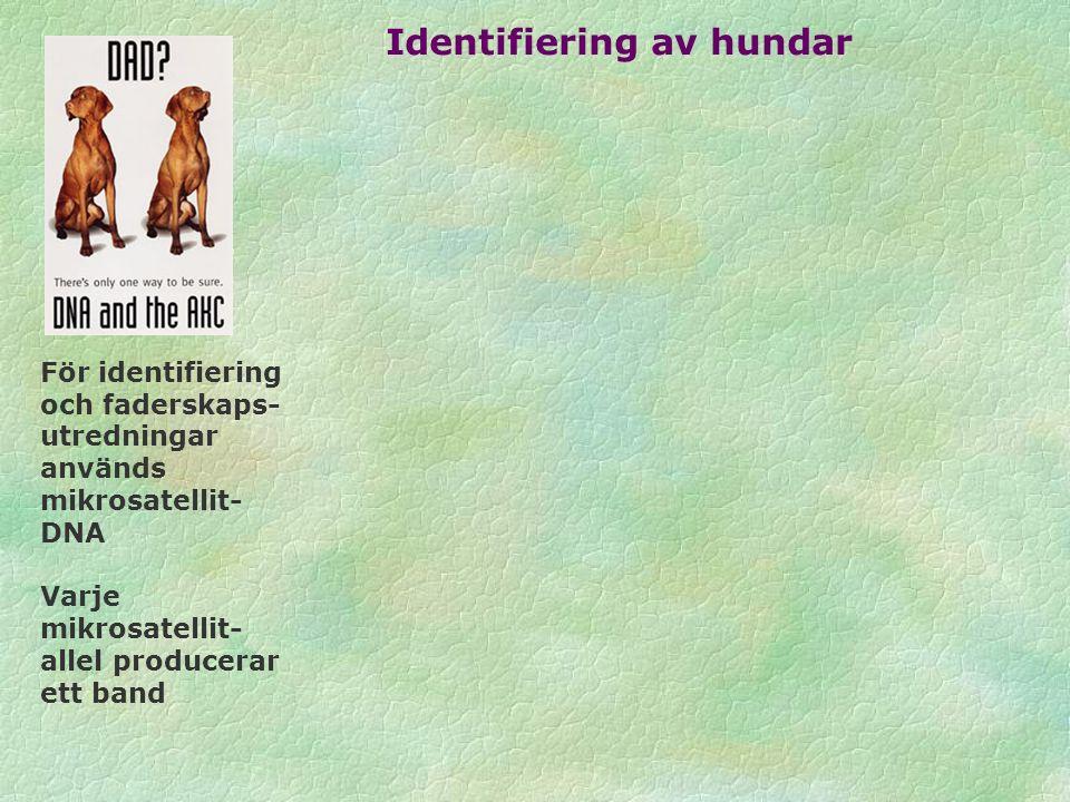 För identifiering och faderskaps- utredningar används mikrosatellit- DNA Varje mikrosatellit- allel producerar ett band Identifiering av hundar