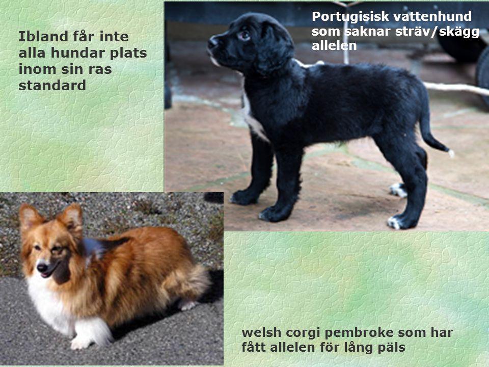 Portugisisk vattenhund som saknar sträv/skägg allelen welsh corgi pembroke som har fått allelen för lång päls Ibland får inte alla hundar plats inom s