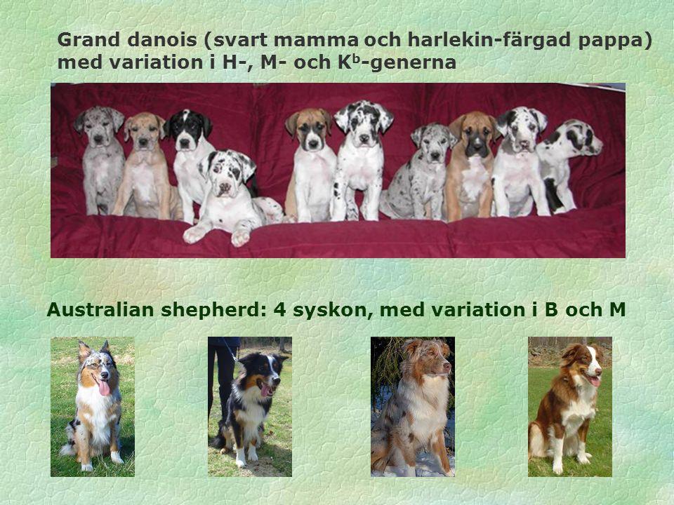 Australian shepherd: 4 syskon, med variation i B och M Grand danois (svart mamma och harlekin-färgad pappa) med variation i H-, M- och K b -generna