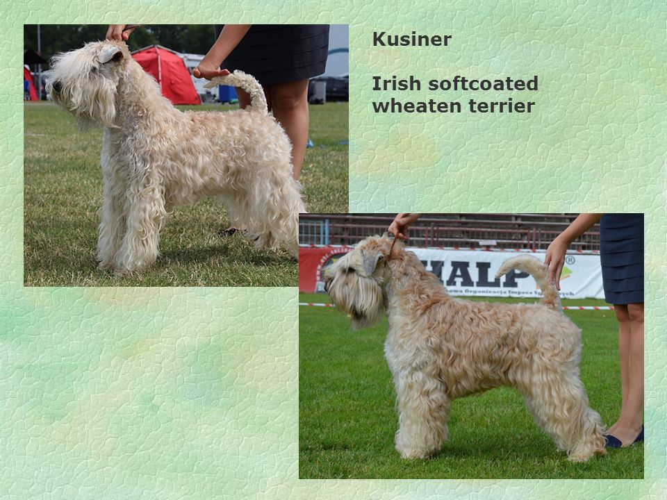 Kusiner Irish softcoated wheaten terrier
