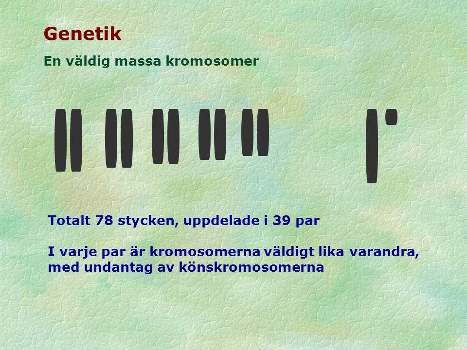 Genetik En väldig massa kromosomer Totalt 78 stycken, uppdelade i 39 par I varje par är kromosomerna väldigt lika varandra, med undantag av könskromos