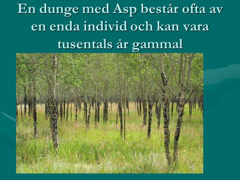 En dunge med Asp består ofta av en enda individ och kan vara tusentals år gammal