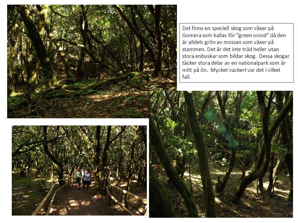 """Det finns en speciell skog som växer på Gomera som kallas för """"green wood"""" då den är alldels grön av mossan som växer på stammen. Det är det inte träd"""