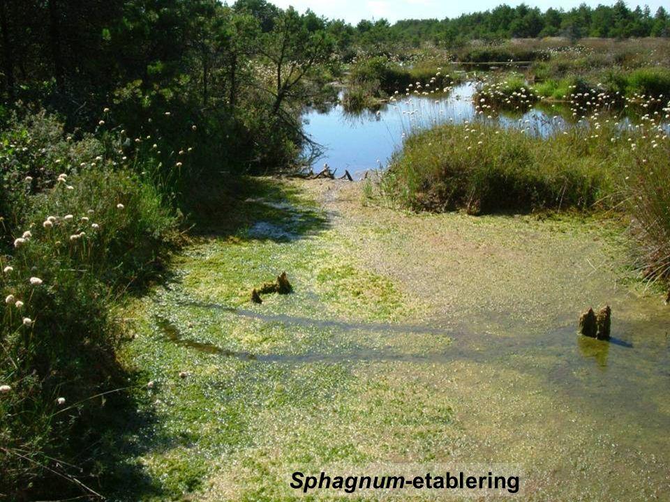 Sphagnum-etablering