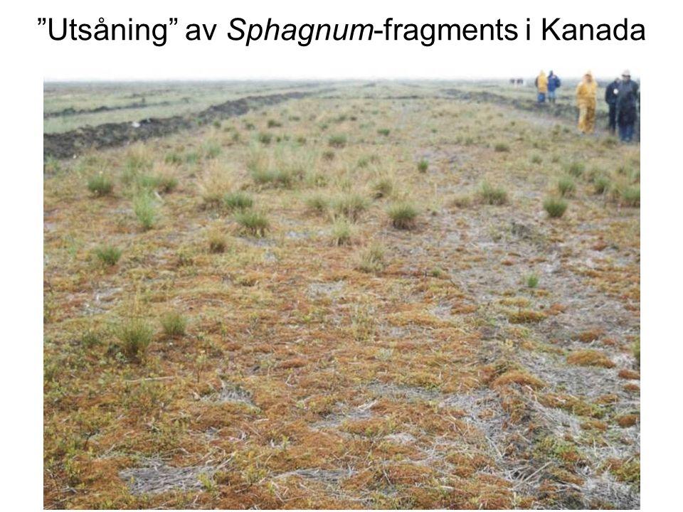 Utsåning av Sphagnum-fragments i Kanada