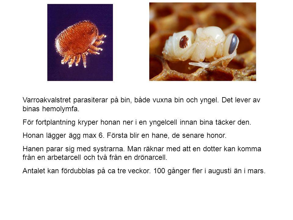 Varroakvalstret parasiterar på bin, både vuxna bin och yngel.