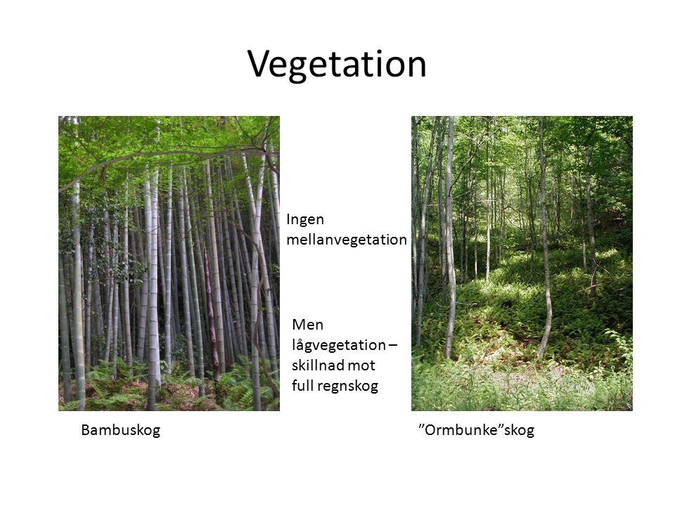 Vegetation Bambuskog Ormbunke skog Ingen mellanvegetation Men lågvegetation – skillnad mot full regnskog