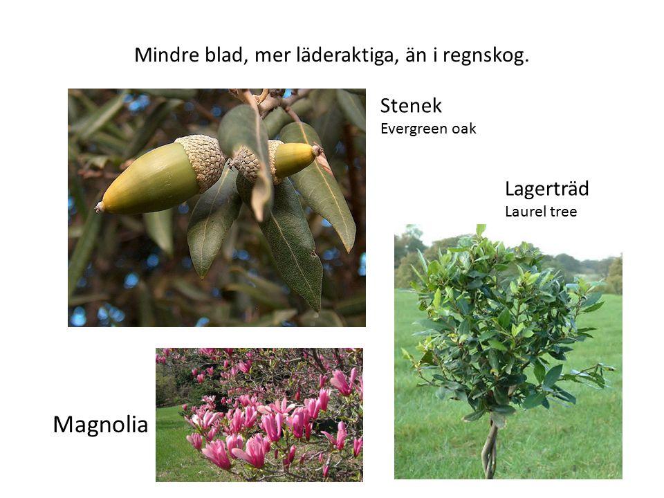 Mindre blad, mer läderaktiga, än i regnskog. Stenek Evergreen oak Magnolia Lagerträd Laurel tree
