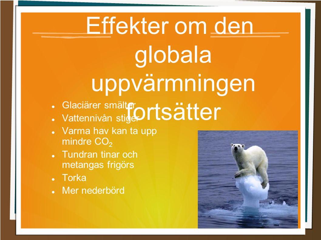 Effekter om den globala uppvärmningen fortsätter Glaciärer smälter Vattennivån stiger Varma hav kan ta upp mindre CO 2 Tundran tinar och metangas frig