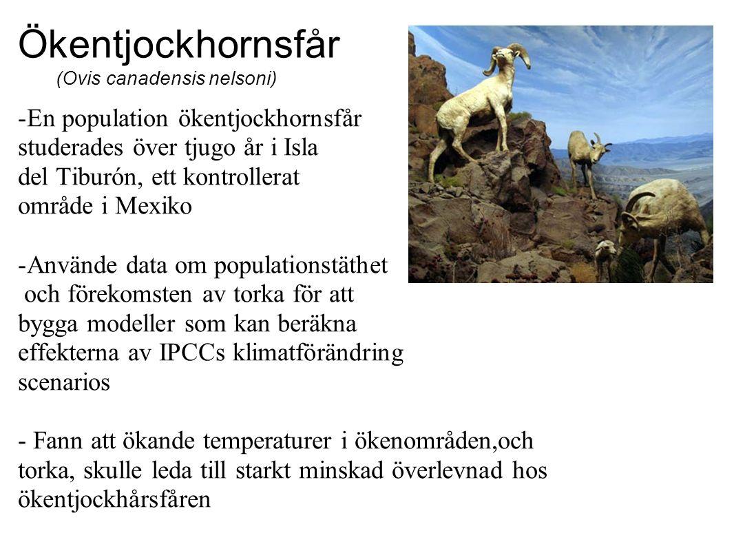 Ökentjockhornsfår (Ovis canadensis nelsoni) -En population ökentjockhornsfår studerades över tjugo år i Isla del Tiburón, ett kontrollerat område i Mexiko -Använde data om populationstäthet och förekomsten av torka för att bygga modeller som kan beräkna effekterna av IPCCs klimatförändring scenarios - Fann att ökande temperaturer i ökenområden,och torka, skulle leda till starkt minskad överlevnad hos ökentjockhårsfåren