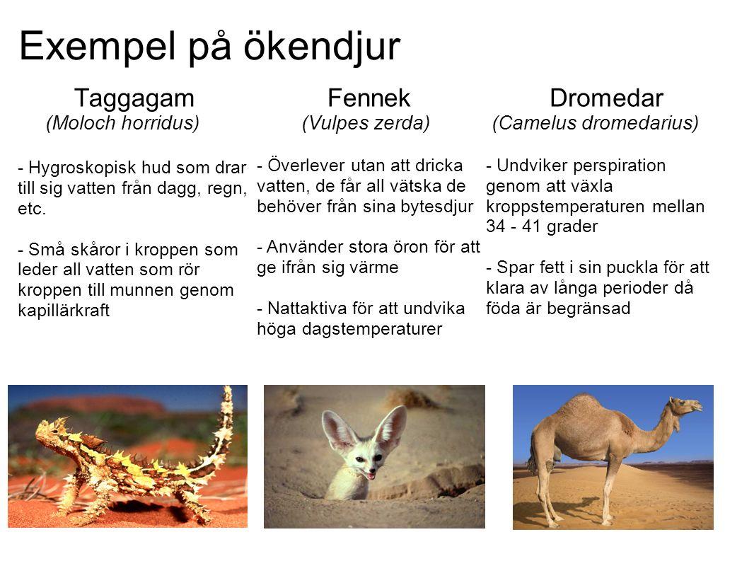 Exempel på ökendjur Taggagam (Moloch horridus) - Hygroskopisk hud som drar till sig vatten från dagg, regn, etc.