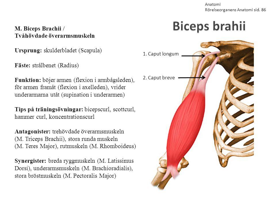 Biceps brahii M. Biceps Brachii / Tvåhövdade överarmsmuskeln Ursprung: skulderbladet (Scapula) Fäste: strålbenet (Radius) Funktion: böjer armen (flexi