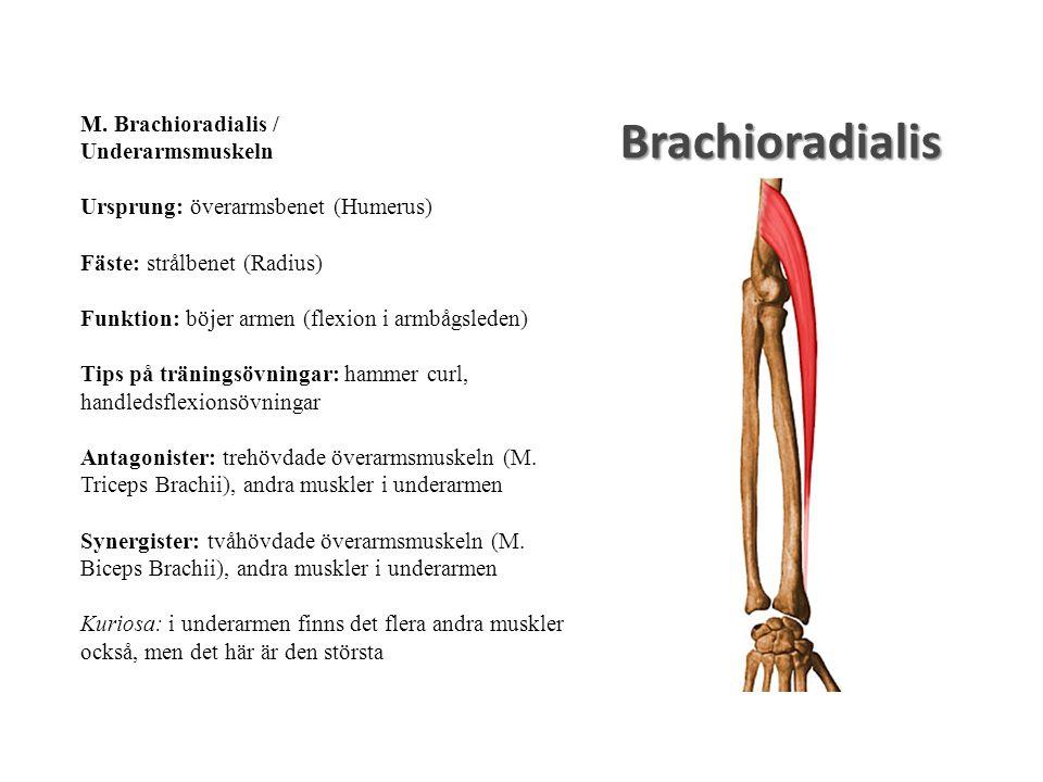 Brachioradialis M. Brachioradialis / Underarmsmuskeln Ursprung: överarmsbenet (Humerus) Fäste: strålbenet (Radius) Funktion: böjer armen (flexion i ar