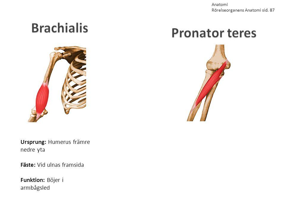 Brachialis Ursprung: Humerus främre nedre yta Fäste: Vid ulnas framsida Funktion: Böjer i armbågsled Anatomi Rörelseorganens Anatomi sid. 87