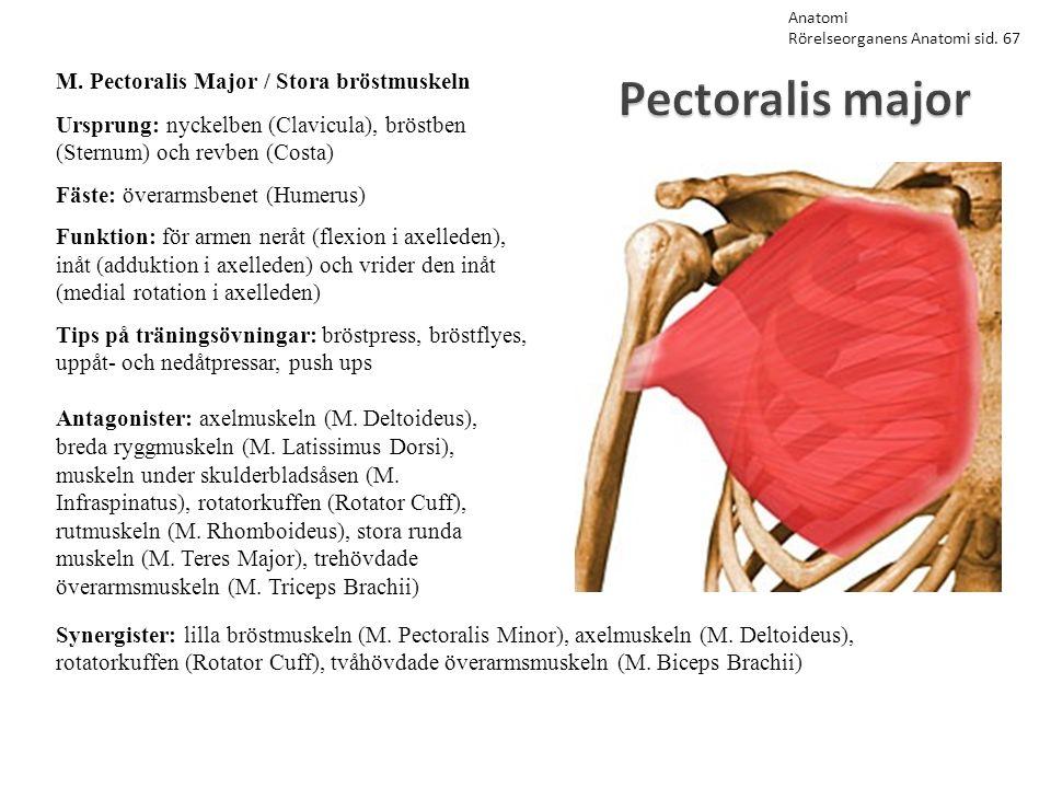 Pectoralis major M. Pectoralis Major / Stora bröstmuskeln Ursprung: nyckelben (Clavicula), bröstben (Sternum) och revben (Costa) Fäste: överarmsbenet