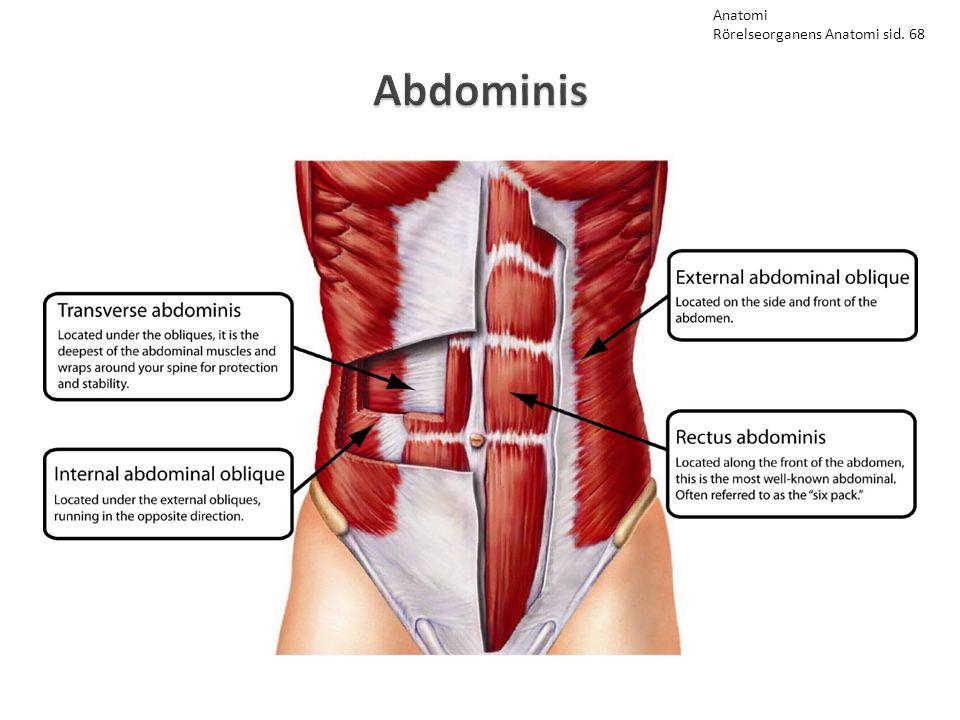 Abdominis Anatomi Rörelseorganens Anatomi sid. 68