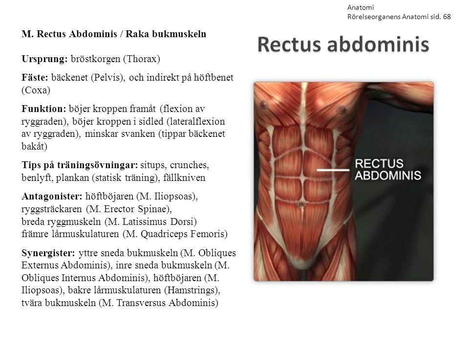 Rectus abdominis M. Rectus Abdominis / Raka bukmuskeln Ursprung: bröstkorgen (Thorax) Fäste: bäckenet (Pelvis), och indirekt på höftbenet (Coxa) Funkt
