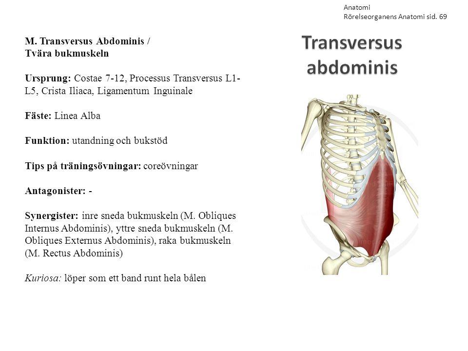Transversus abdominis M. Transversus Abdominis / Tvära bukmuskeln Ursprung: Costae 7-12, Processus Transversus L1- L5, Crista Iliaca, Ligamentum Ingui