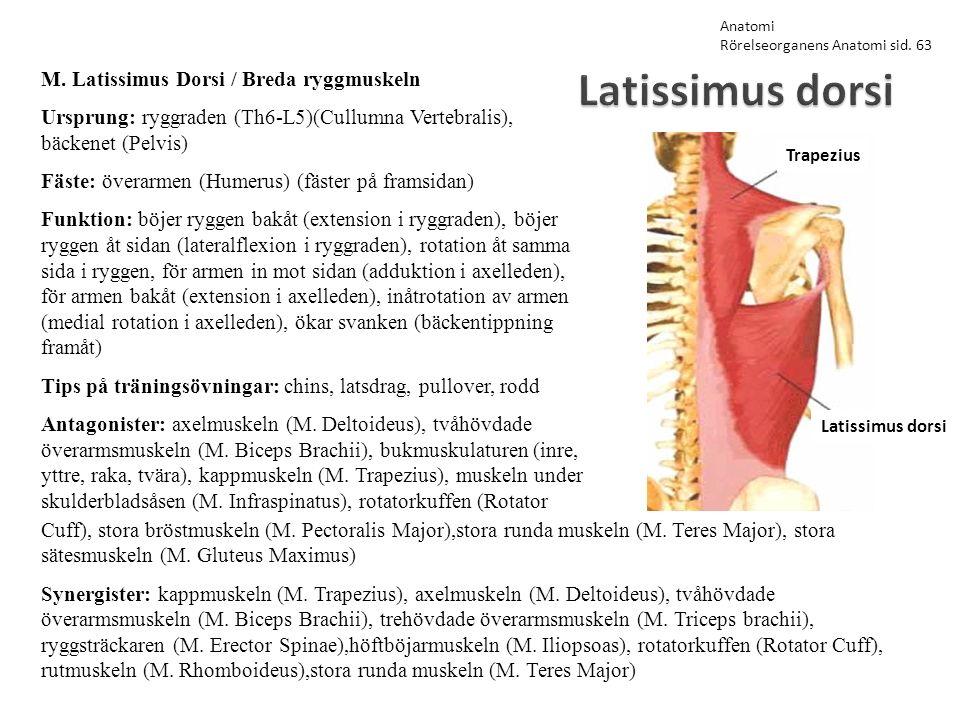 Latissimus dorsi M. Latissimus Dorsi / Breda ryggmuskeln Ursprung: ryggraden (Th6-L5)(Cullumna Vertebralis), bäckenet (Pelvis) Fäste: överarmen (Humer