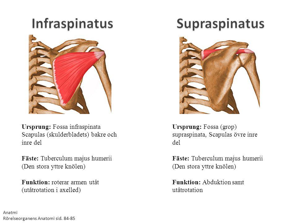 Infraspinatus Ursprung: Fossa infraspinata Scapulas (skulderbladets) bakre och inre del Fäste: Tuberculum majus humerii (Den stora yttre knölen) Funkt