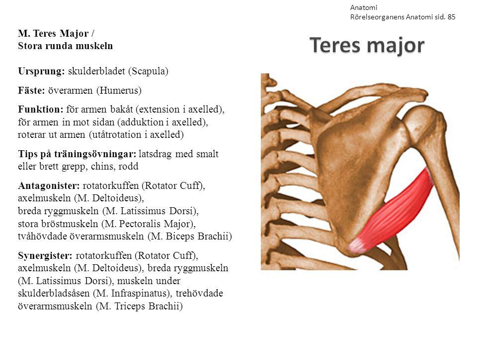 Teres major M. Teres Major / Stora runda muskeln Ursprung: skulderbladet (Scapula) Fäste: överarmen (Humerus) Funktion: för armen bakåt (extension i a