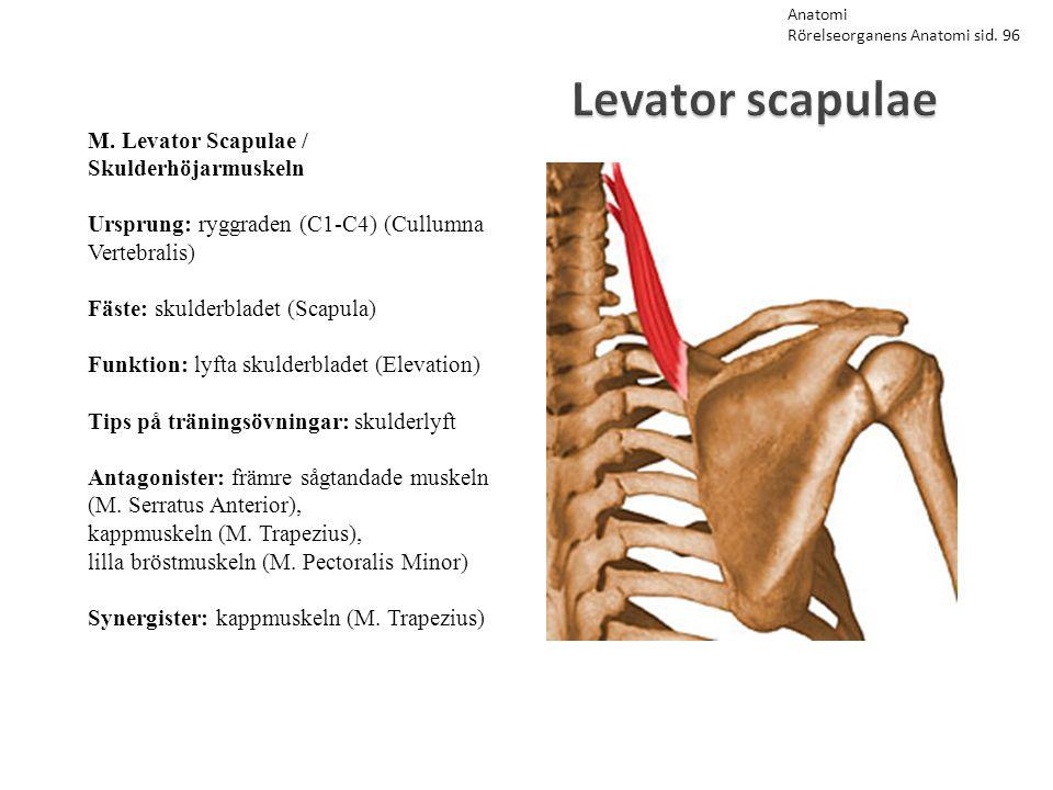 Levator scapulae M. Levator Scapulae / Skulderhöjarmuskeln Ursprung: ryggraden (C1-C4) (Cullumna Vertebralis) Fäste: skulderbladet (Scapula) Funktion: