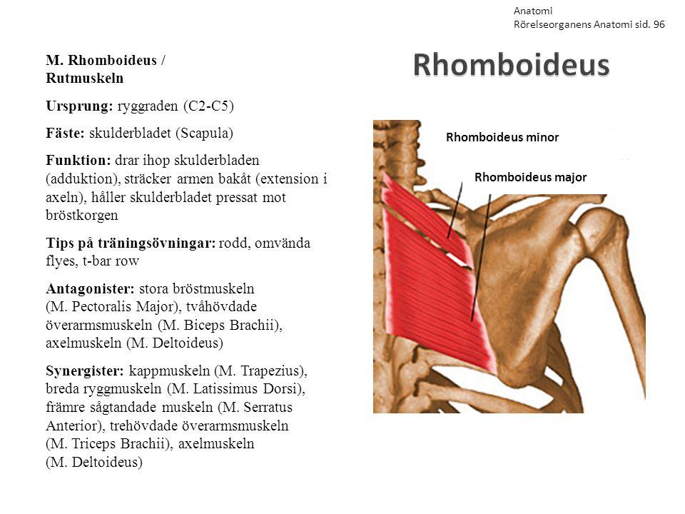 Obliquus internus abdominis M.