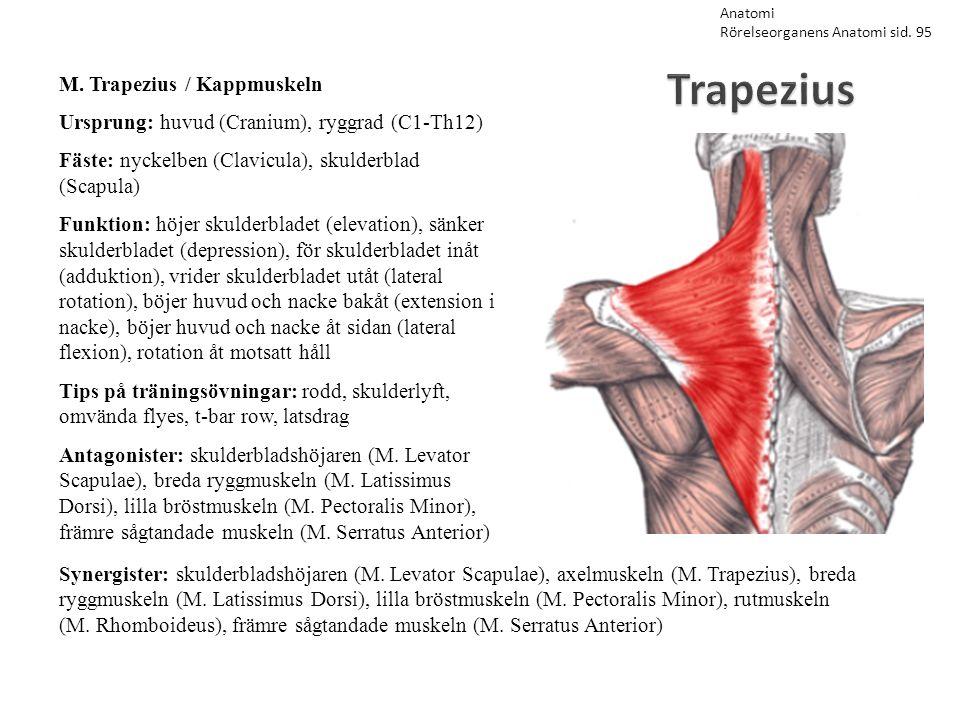 Trapezius M. Trapezius / Kappmuskeln Ursprung: huvud (Cranium), ryggrad (C1-Th12) Fäste: nyckelben (Clavicula), skulderblad (Scapula) Funktion: höjer