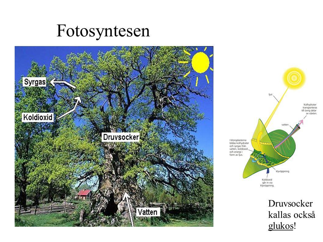 Fotosyntesen Druvsocker kallas också glukos!