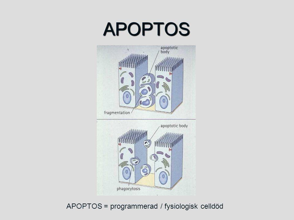 APOPTOS APOPTOS = programmerad / fysiologisk celldöd