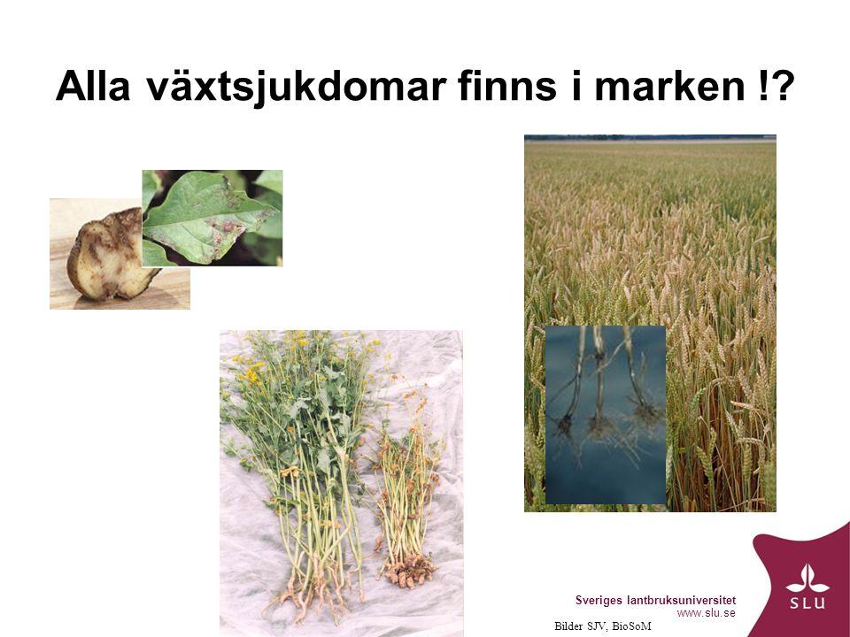Sveriges lantbruksuniversitet www.slu.se Alla växtsjukdomar finns i marken ! Bilder SJV, BioSoM