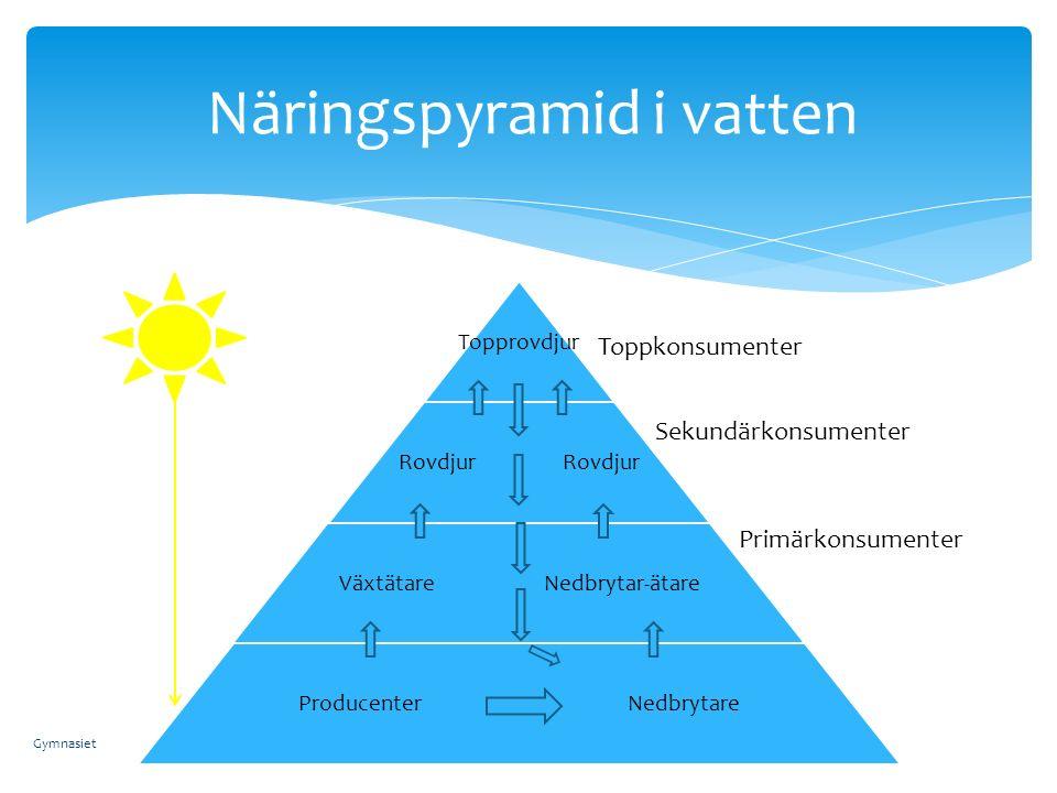 Näringspyramid i vatten Primärkonsumenter Sekundärkonsumenter Toppkonsumenter Gymnasiet