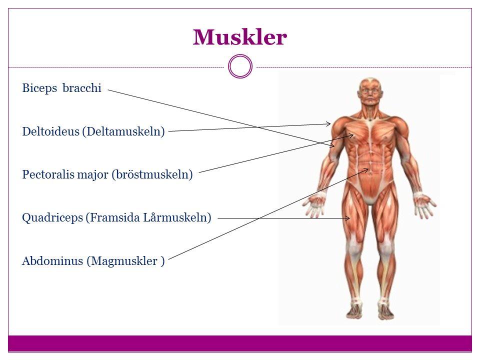 Muskler Biceps bracchi Deltoideus (Deltamuskeln) Pectoralis major (bröstmuskeln) Quadriceps (Framsida Lårmuskeln) Abdominus (Magmuskler )
